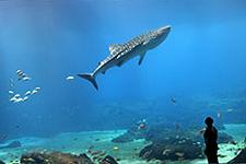 GA Aquarium Tiger Shark