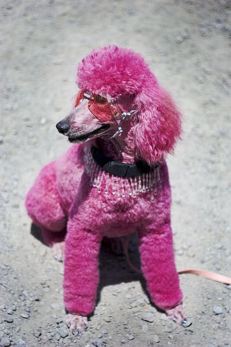 Pink Poodle Power!