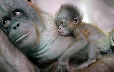 Baby Orangutan and Mother at German Zoo