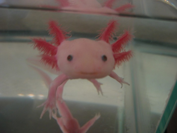 Ben The Pink Axolotl Good Mood