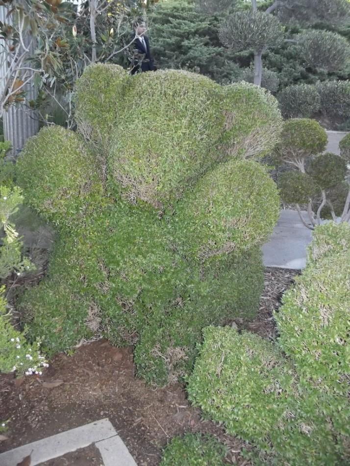 Huntington Library Teddy Bear Topiary