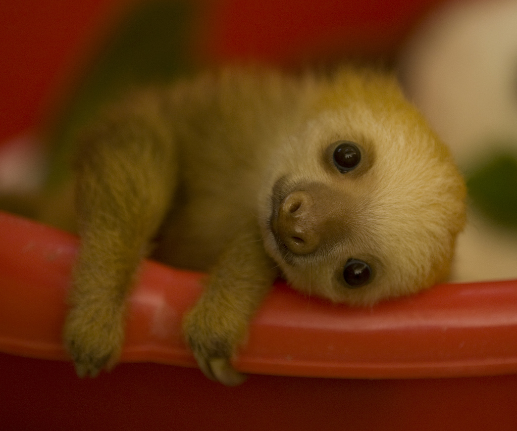 Cuteness alert baby sloth the worleygig