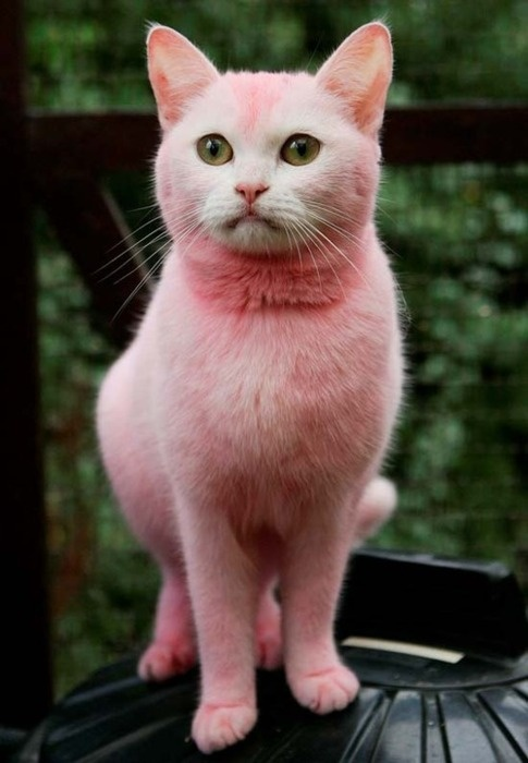 pussy cat pink