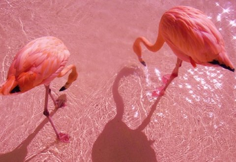 Pink Flamingos on a Pink Beach