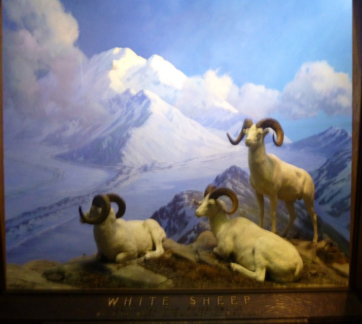 Big Horn White Sheep