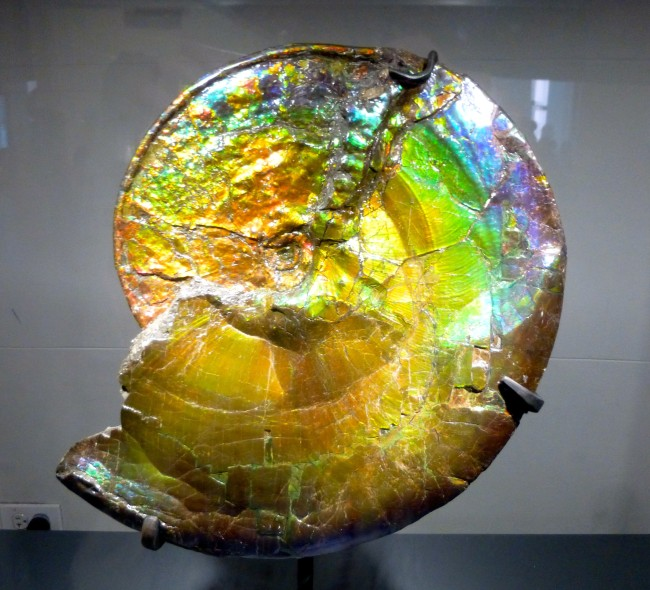 Ammonite Shell