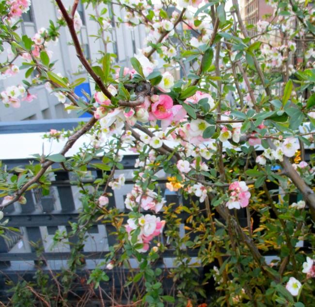 Pink Bush Closer