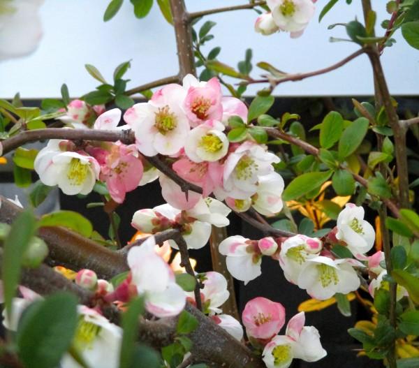 Pink Bush Closer 2