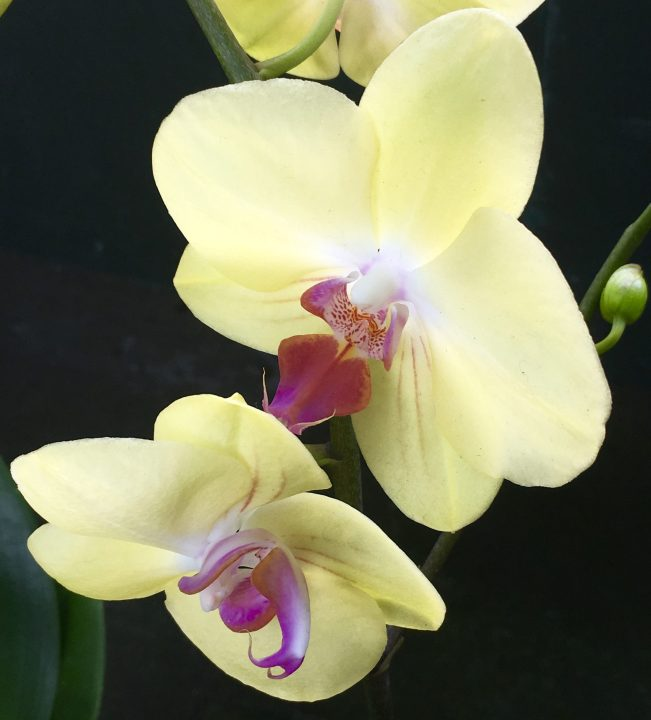 Pale Yellow with Purple Center