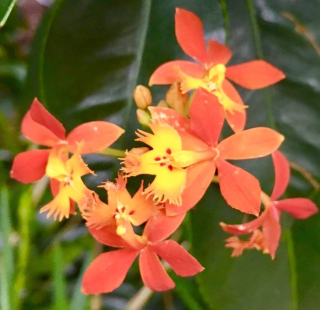 Tiny Orange Orchids