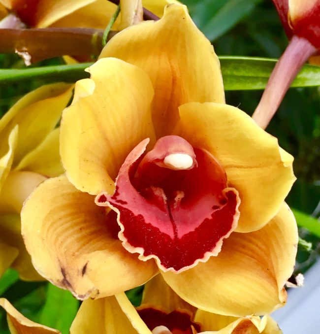 Orange and Red Orchid