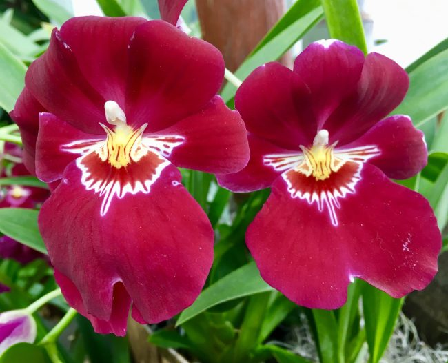 Dancing Lady Orchids