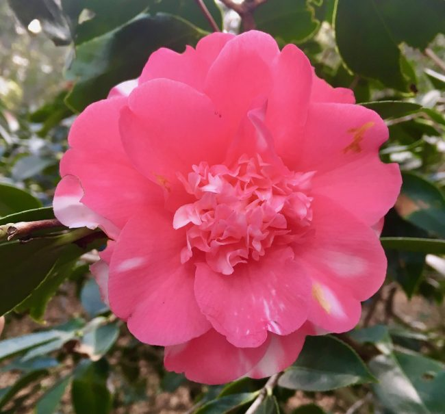 Pink and White Camellia