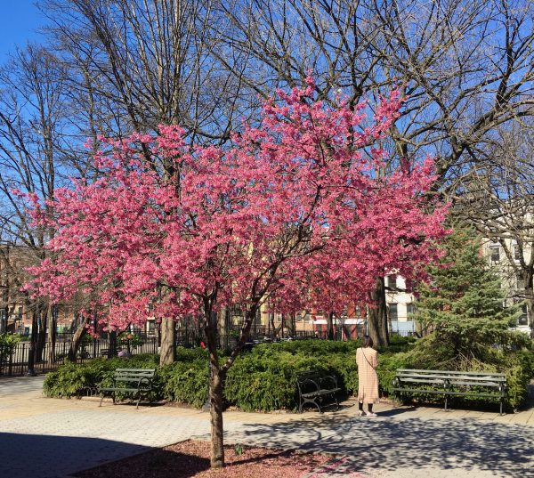 cherry tree in tompkins square park photo by gail worley
