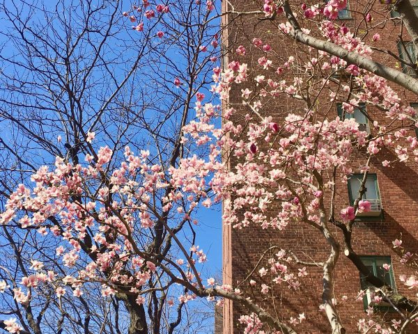 cherry tree on 14th street photo by gail worley