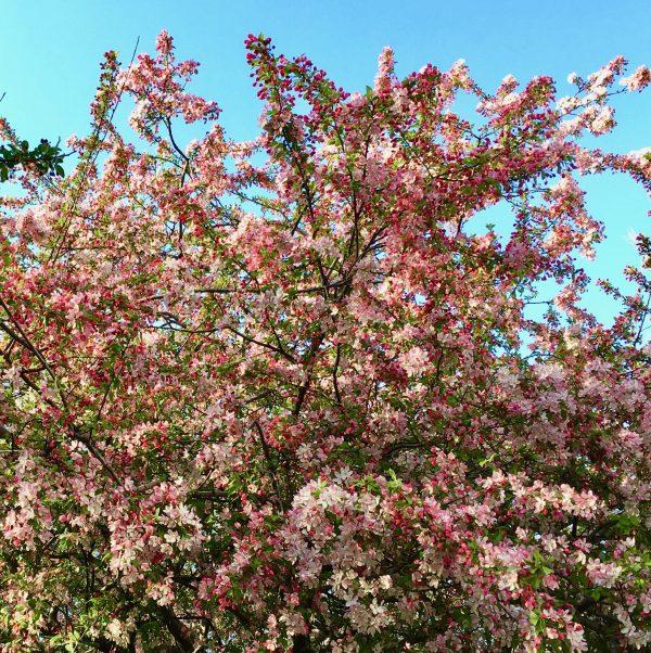 flowering tree detail photo by gail