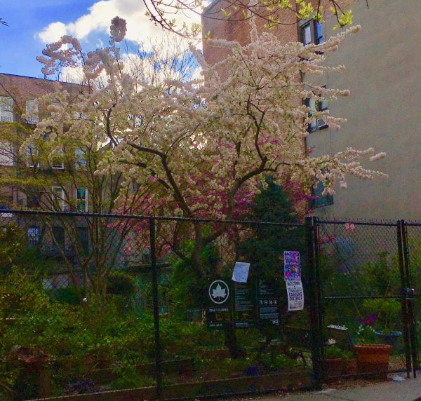 cherry tree behind fence photo by gail worley