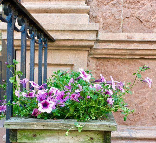 purple morning glories photo by gail worley