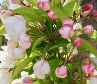 cherry blossom buds photo by gail worley