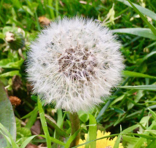 dandelion puff photo by gail worley