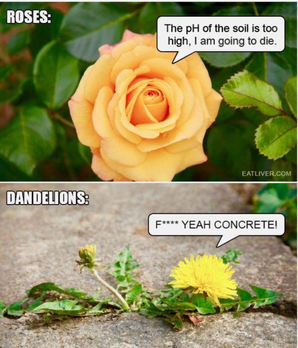 rose dandelion meme